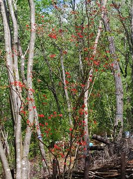 ヤマツツジの開花