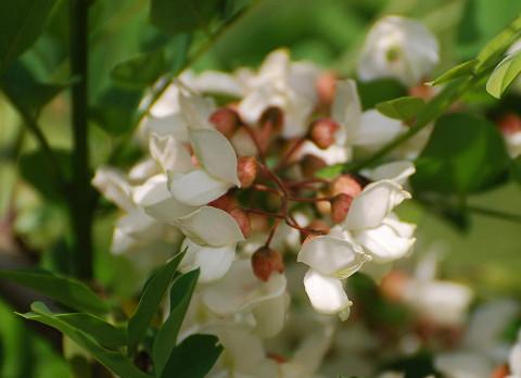 ヤシャブシの花3