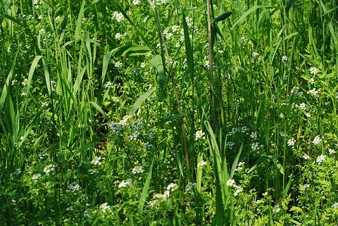 湿地に白い花1