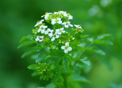 湿地に白い花2