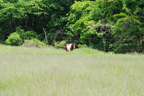 放牧場の母馬