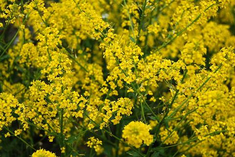 黄色い花???2