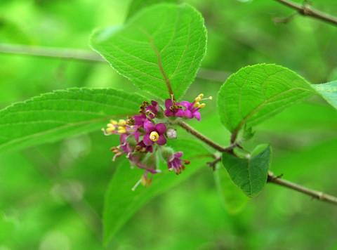 ヤブムラサキの花