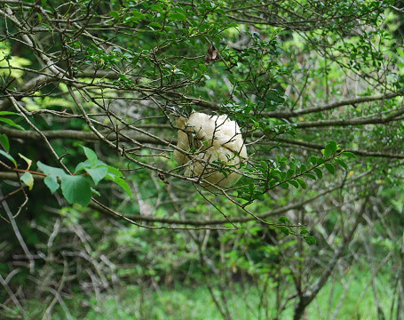 モリアオガエル卵塊2