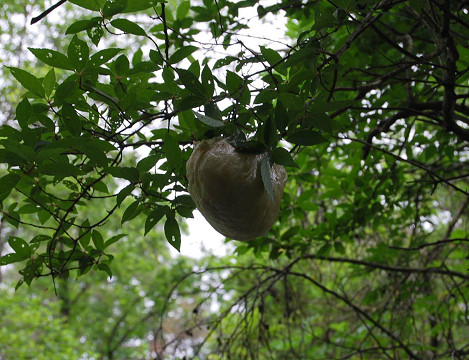 モリアオガエル卵塊3