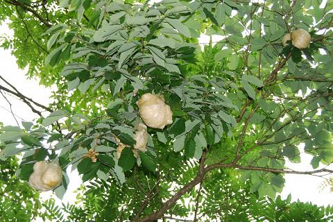 モリアオガエル卵塊1