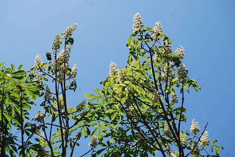 トチノキの白い花