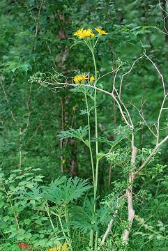 黄色の菊の花