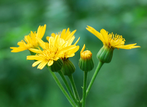 黄色い菊の花アップ