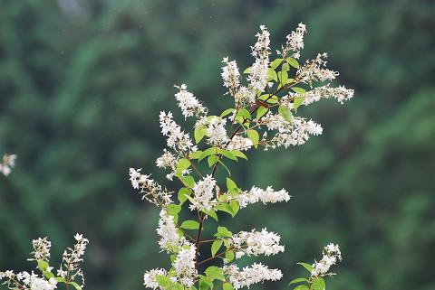 ウツギの花2