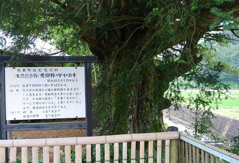 黄柳野のカヤ巨木2