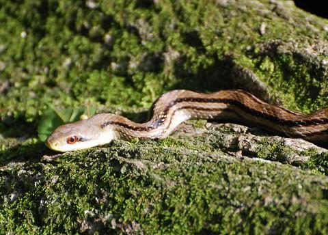 コナラの木にシマヘビ
