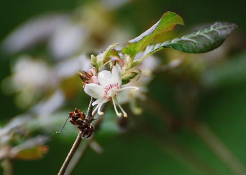 バイカツツジの花