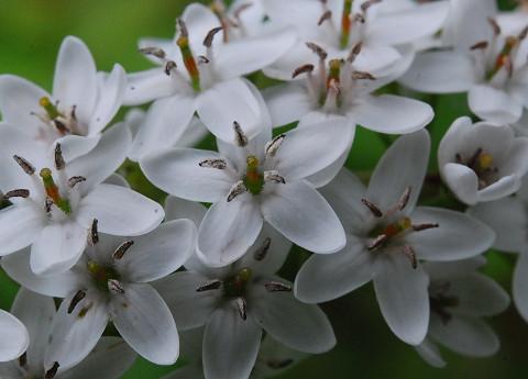 トラノオの花アップ