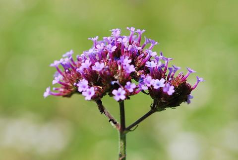 赤紫の花アップ