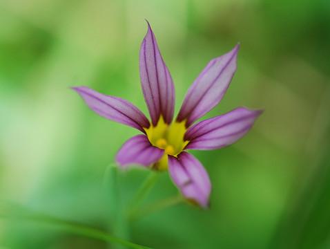 赤紫のニワゼキショウ