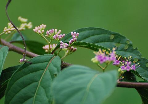 ムラサキシキブの開花
