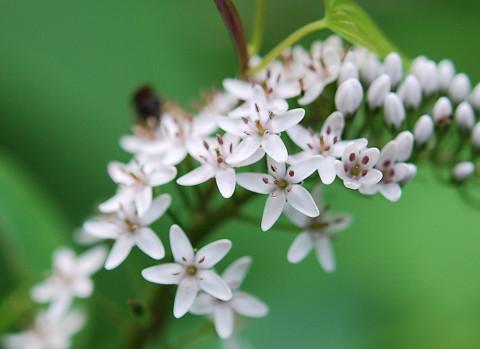 オカトラノオの花をアップ