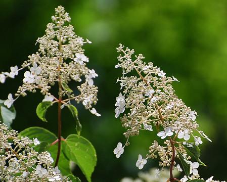 ノリウツギの花
