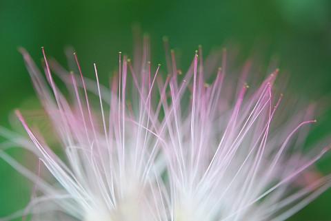 ネムノキの花2