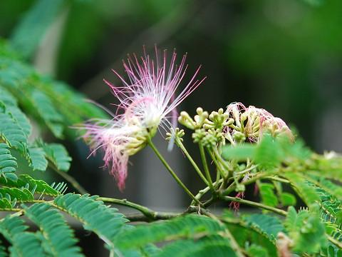 ネムノキの花1