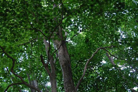 カエデの大きな葉