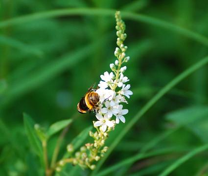 ヌマトラノオにハチ