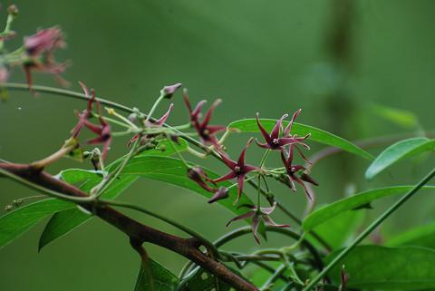 コバノカモメツルの花