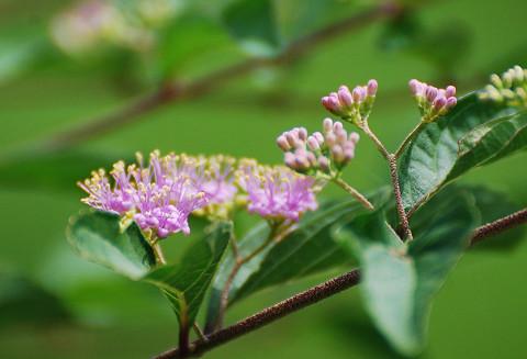 ムラサキシシブの花