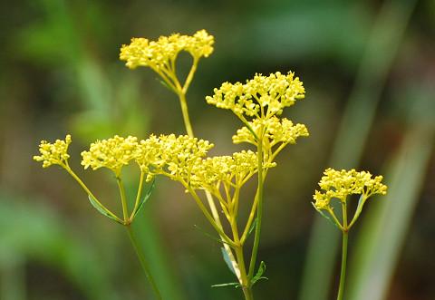 オミナエシの花