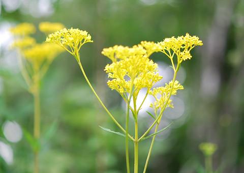 黄色のオミナエシ