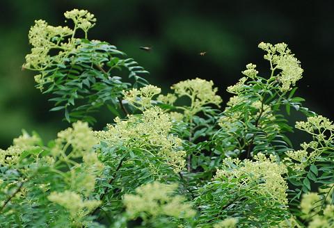 サンショウの花