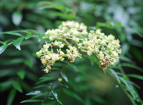 サンショウの花1