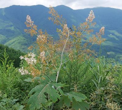 タケニグサの穂