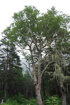 コメツガの巨木