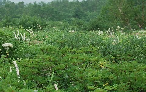 高山植物の群生2