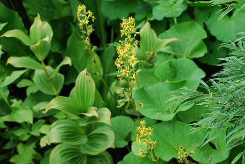 オタカラコウの花