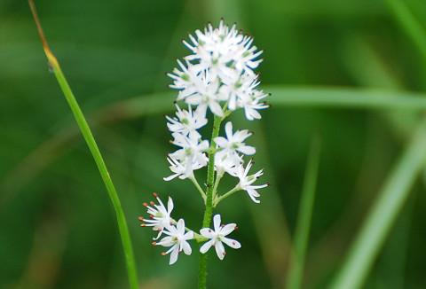 白いイワショウブの花
