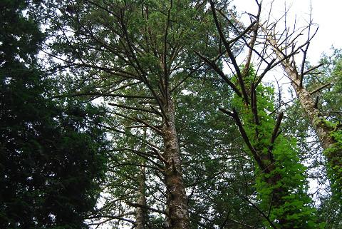 ツガの巨木