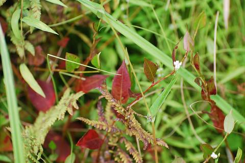 紅葉したミゾソバの葉