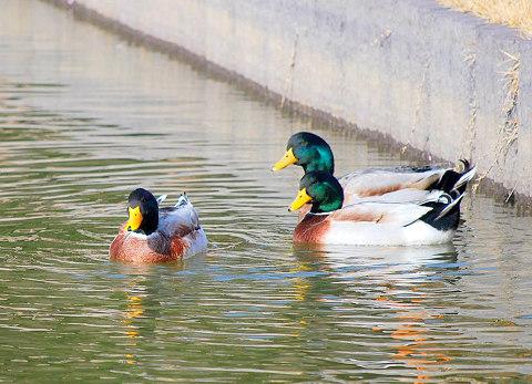 池のカモたち3