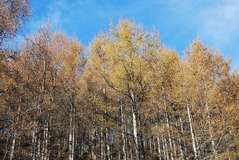 黄葉のカラマツ