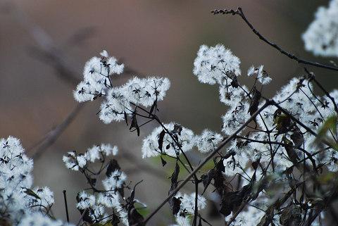 綿毛のツル植物?