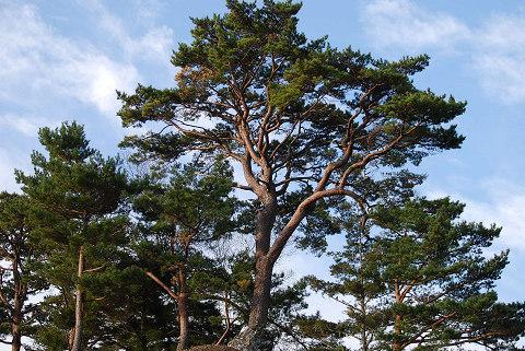 枝ぶりの松