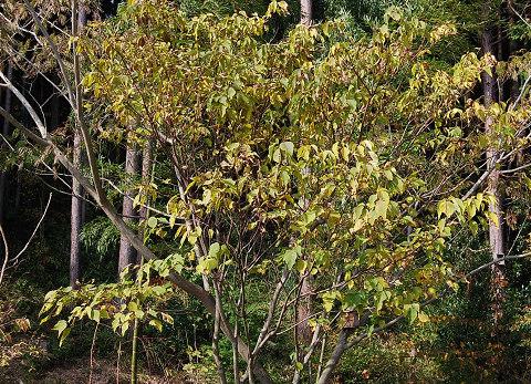 アカメガシワの黄葉
