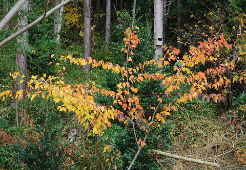 ウリカエデの黄葉