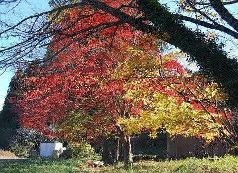 イロハモミジの紅葉1