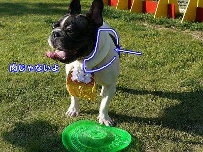 土佐犬 (6)