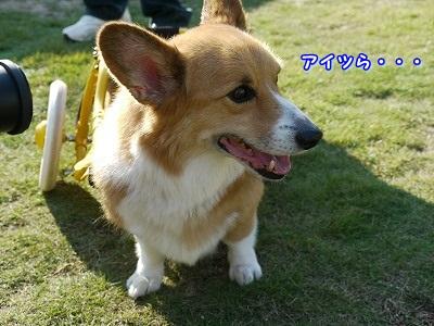 土佐犬 (5)