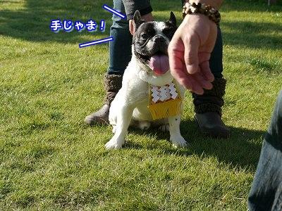 土佐犬 (4)